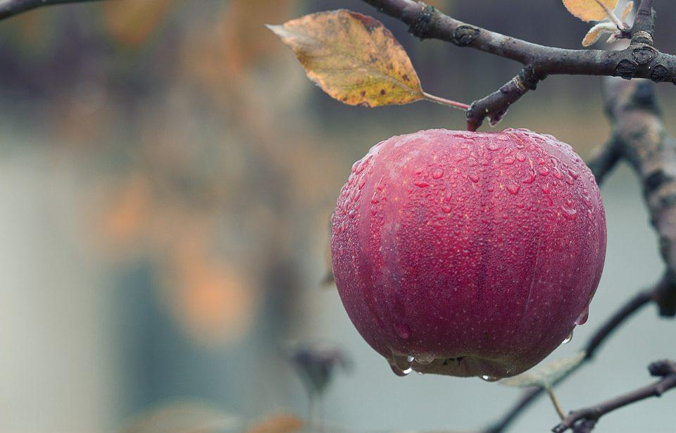 apple on a tree in an autumn garden