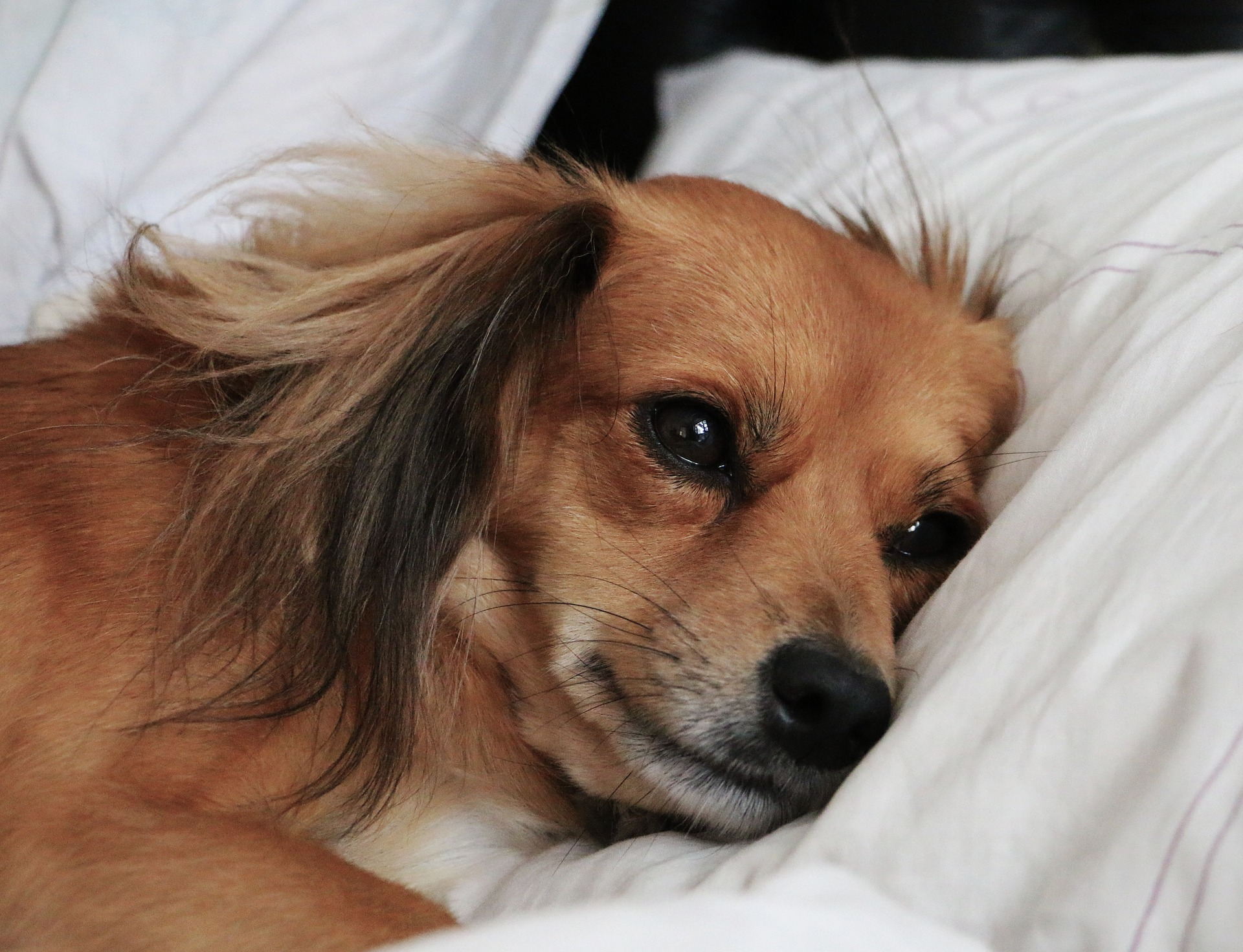 dog laying with its head on a pillow