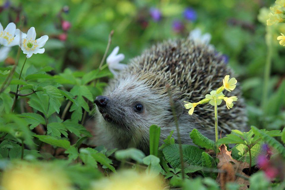 hedgehog in a wildflower meadow