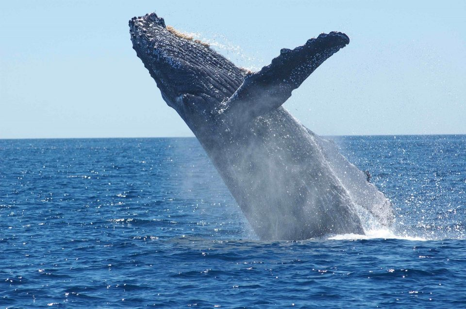 a humpback whale launching out of the sea
