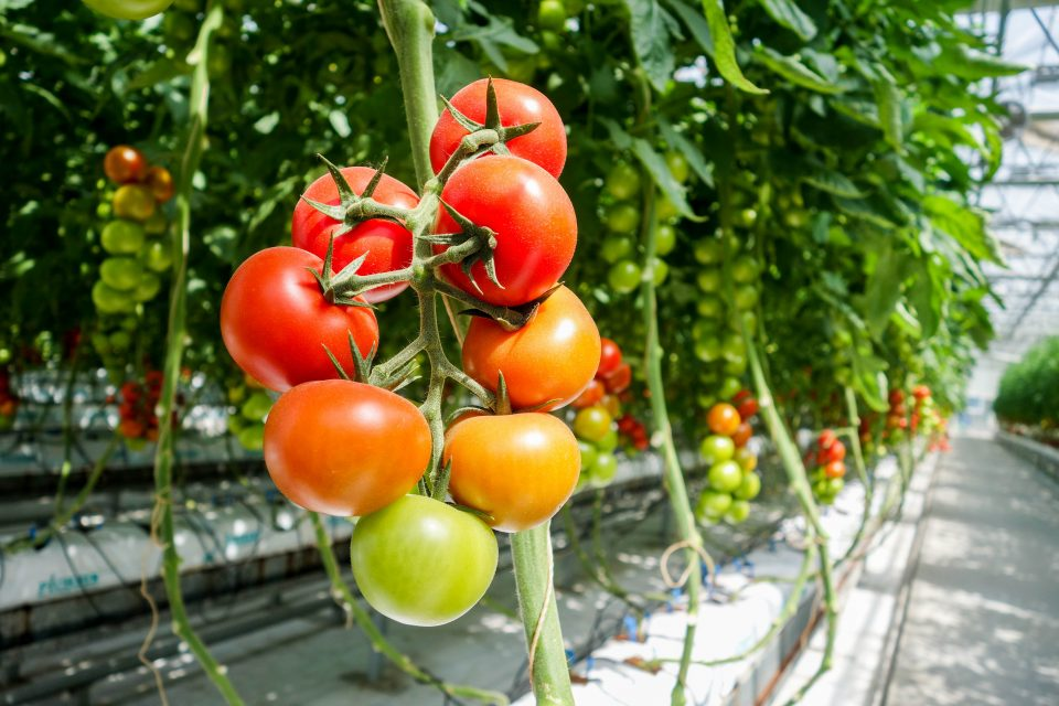 a tomato plant inside a greenhouse