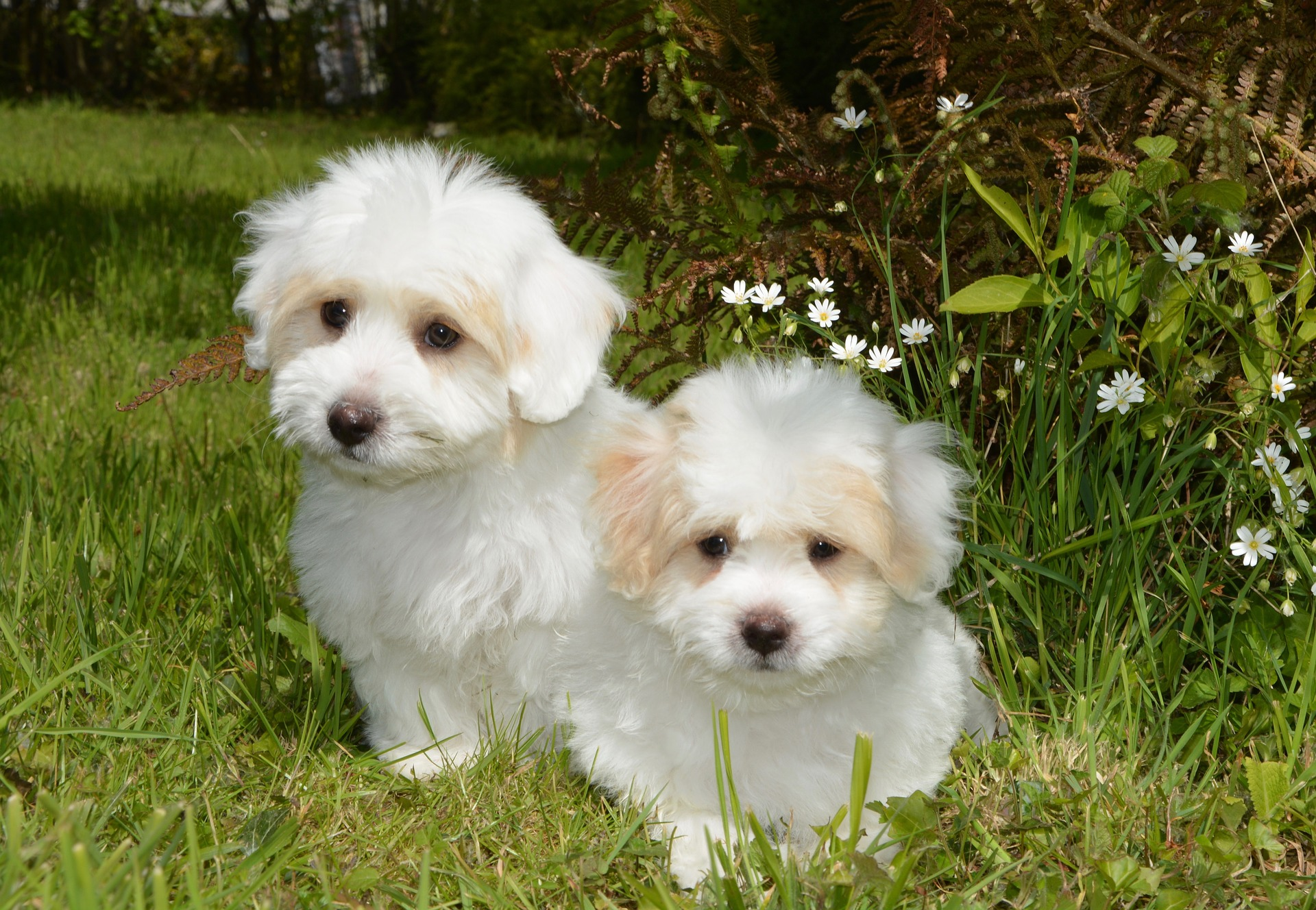 2 white fluffy puppies