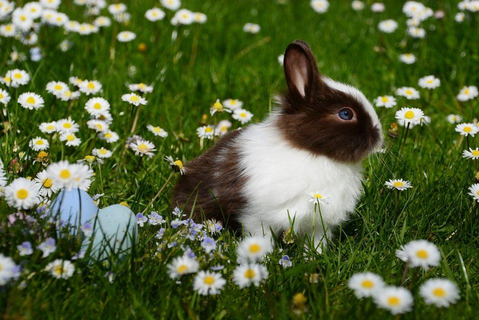bunny rabbit in a field