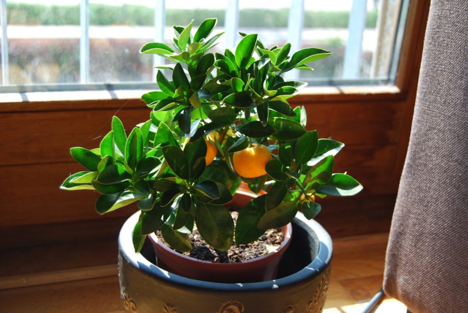 growing fruit indoors