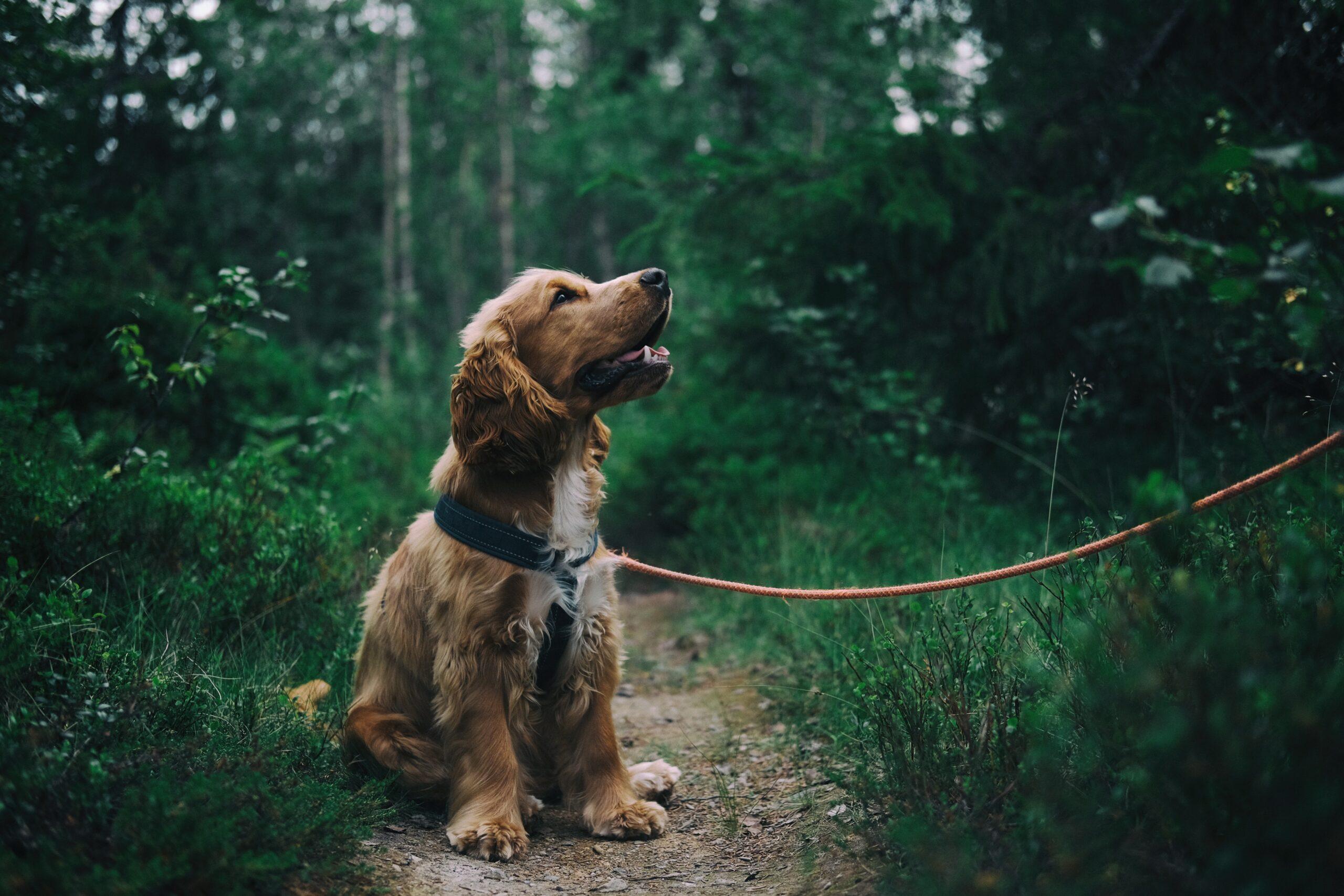 cocker spaniel dog on a lead