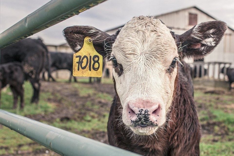 a cow looking at the camera with a tag in its ear