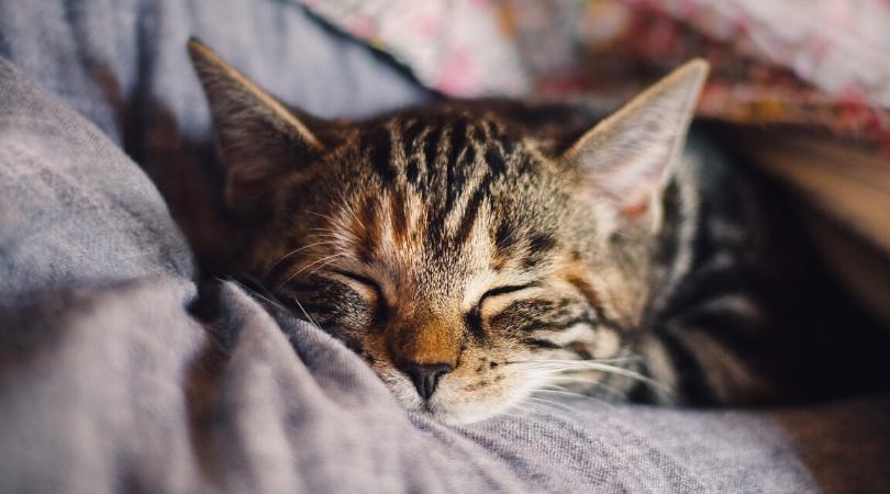 gorgeous tabby cat asleep