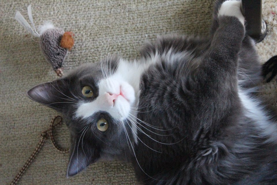 cat with toy