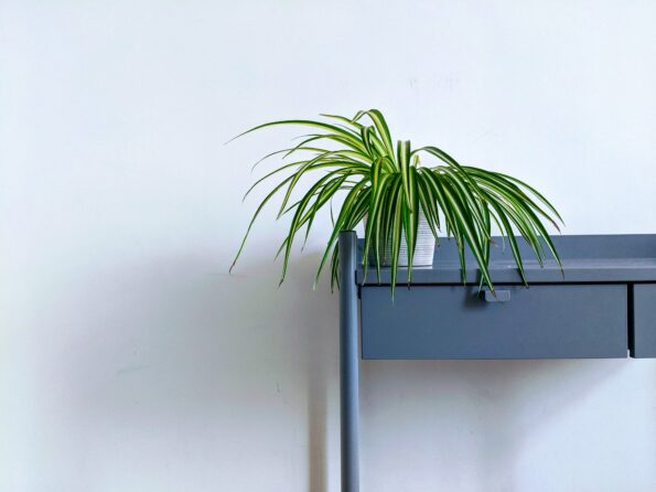 a spider plant on a table
