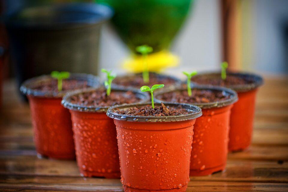 seedlings in plastic pots