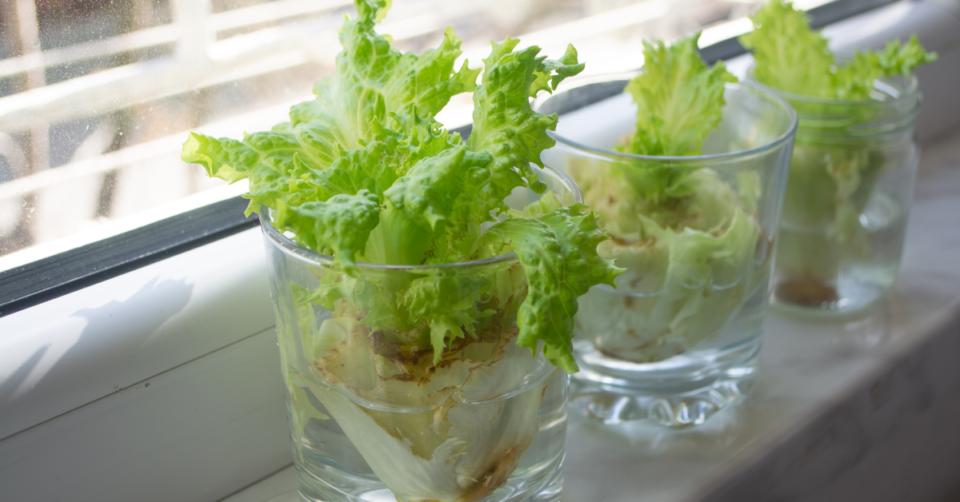 growing lettuce scraps