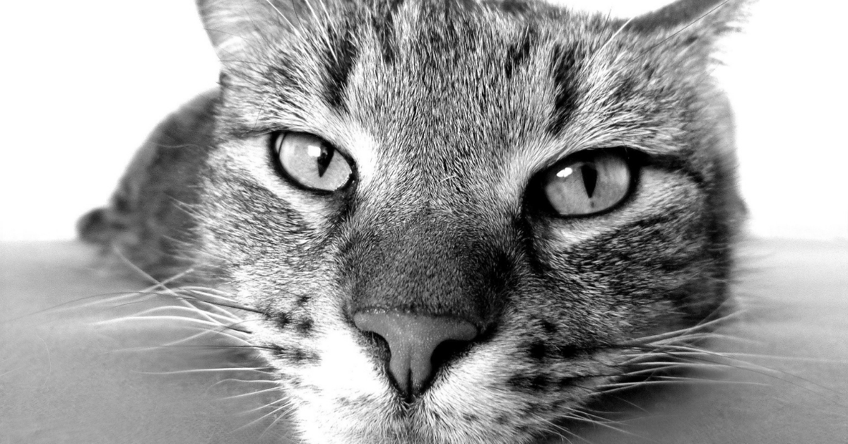 cats face in black and white